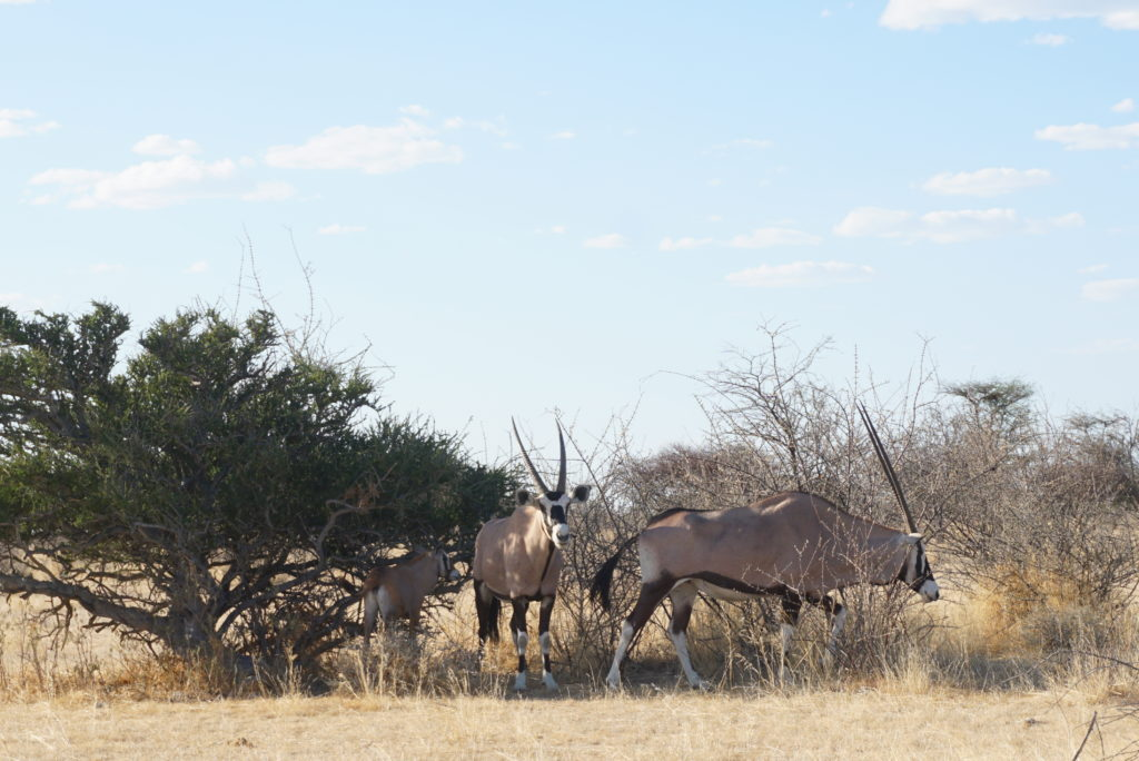 ナミビア サファリ