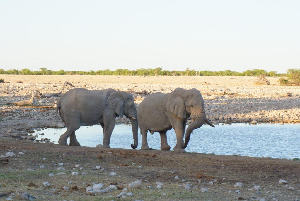 エトーシャ国立公園 ゾウ
