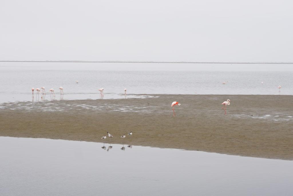 フラミンゴのコロニー