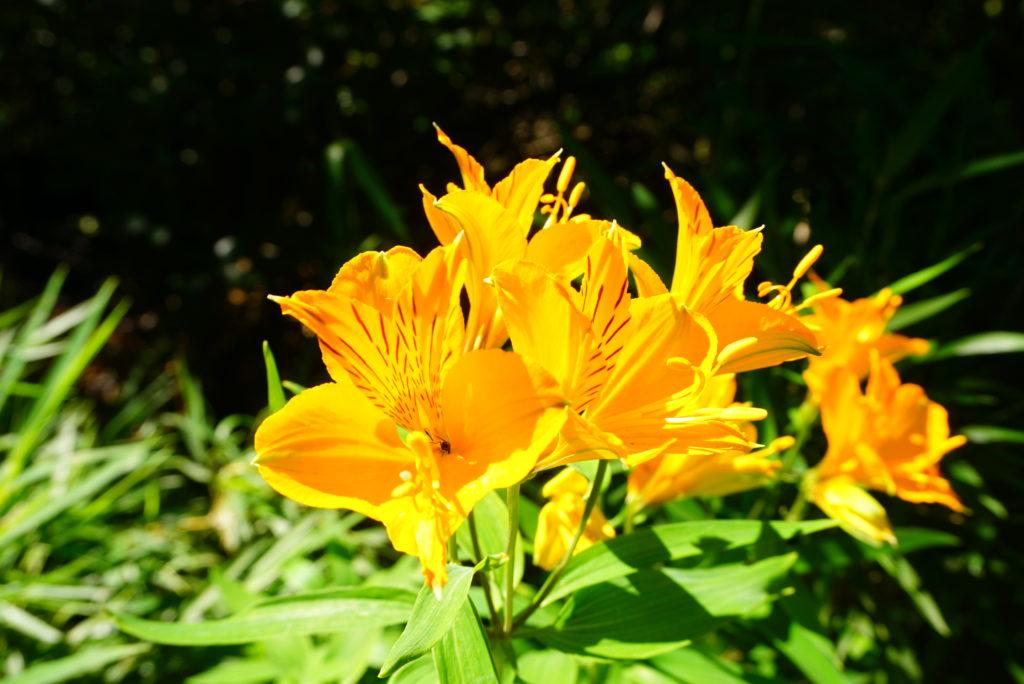 バリローチェに咲く花